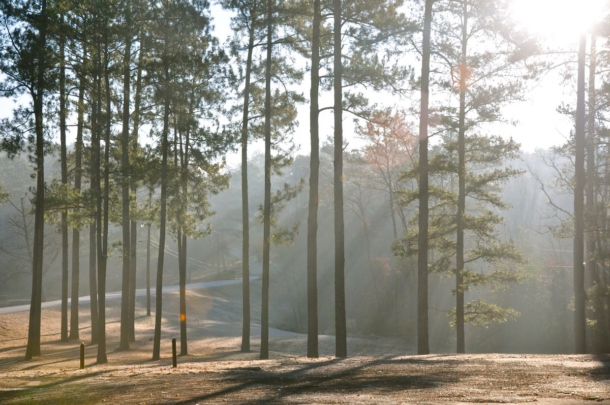Sun shining through piney woods in East Texas