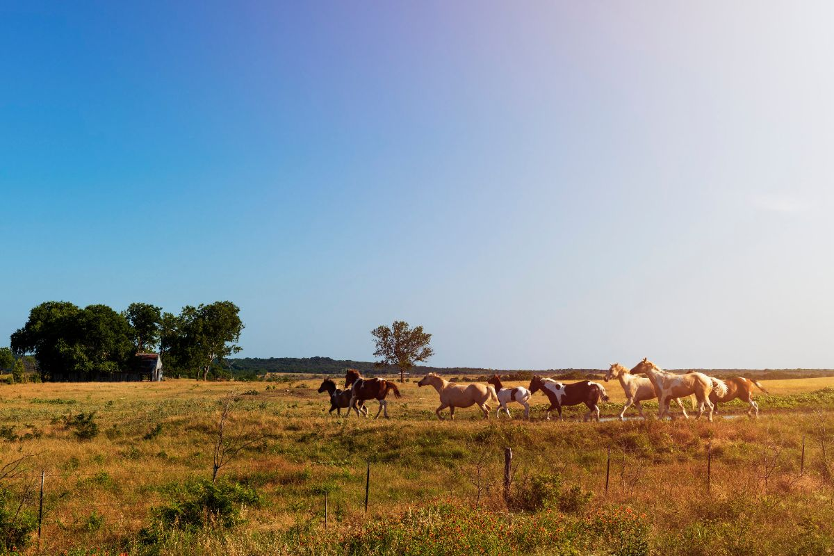 Horses run on rural Texas land at sunset.