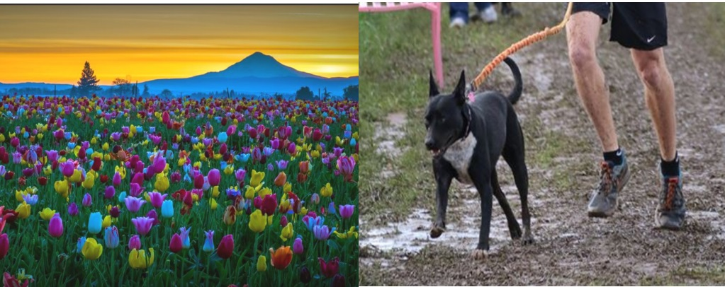 tulip festival/muddy paws run