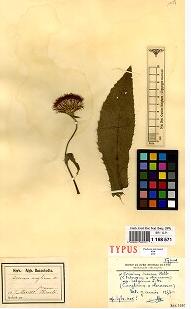 Specimen d'herbier scanné© Jardin botanique Meise