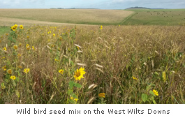 wild bird seed mix on the West Wilts Downs