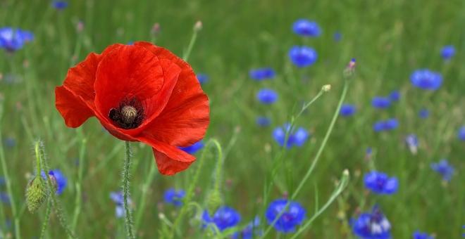 A poppy in a field of flowers