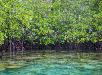 WHY MANGROVES ARE IMPORTANT TO DIVERS