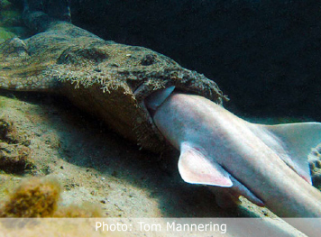 A WOBBEGONG SWALLOWS BAMBOO SHARK WHOLE
