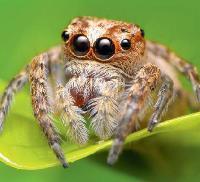 Aranha papa-moscas