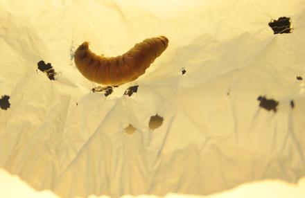 Plastik fressende Raupen
