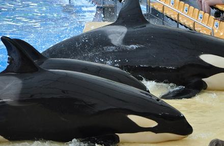 Verbot Orca-Haltung