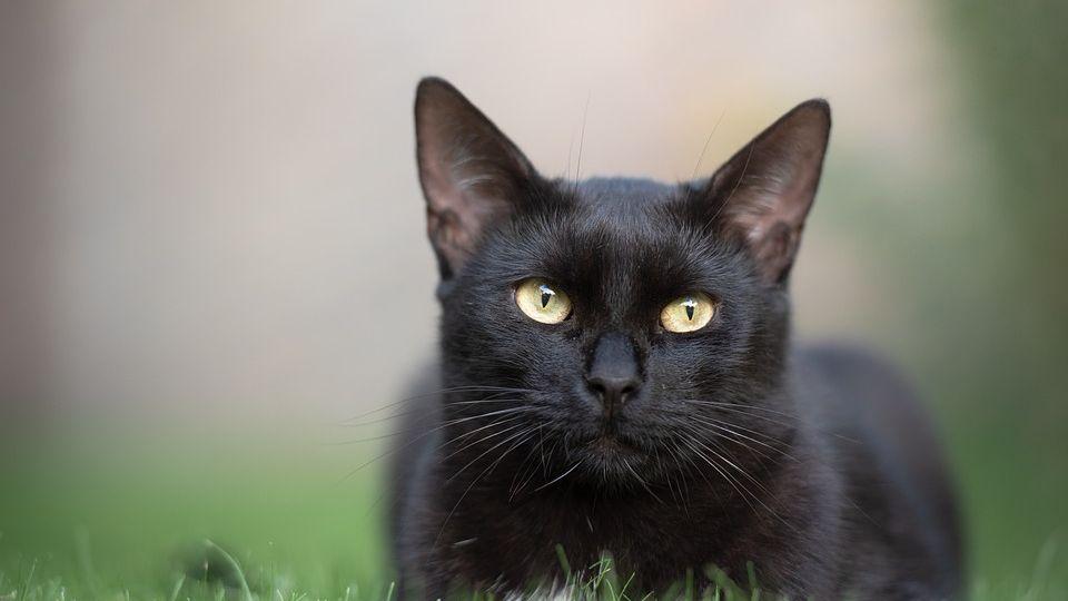 Acari nelle orecchie del gatto: cosa fare