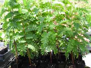 rare herbs information