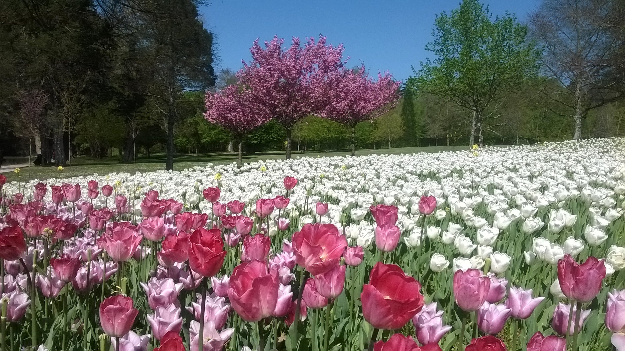 Tulips growing at Chateau Cheverny
