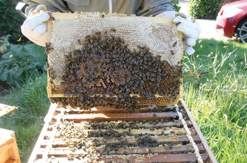 Healthy Bees with honey. Photo: Belinda Chantler