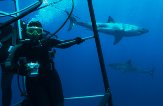 Cage diving with great white sharks in Mexico