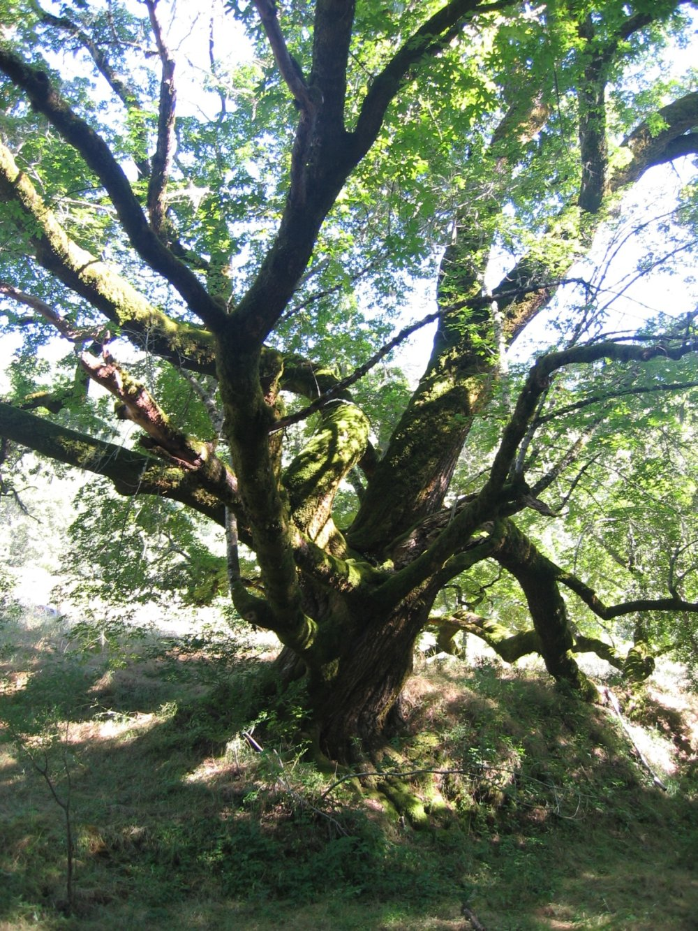 Honoring an Ancient Maple, Witnessing a park reborn @ Sugarloaf Ridge State Park | Kenwood | California | United States