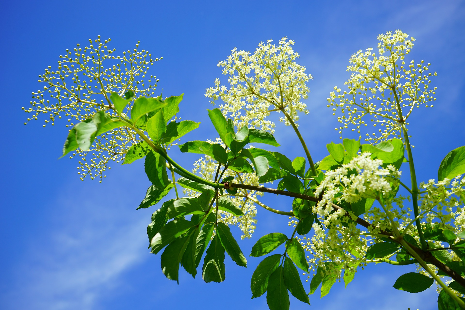 white elderberry blossoms and leaves against a blue sky