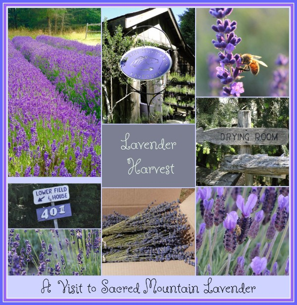 buy lavender thunder bay