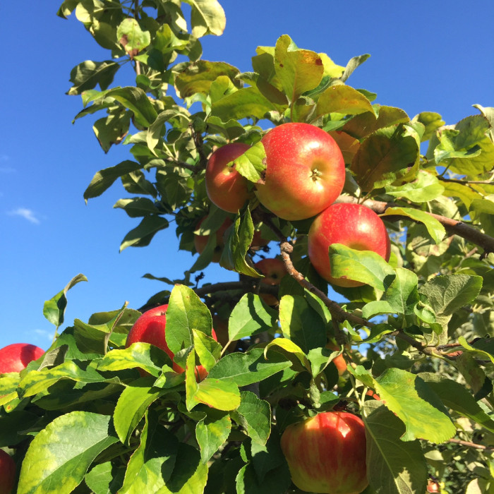 Rose Hill Farm Hudson Valley Pick Your Own Apples