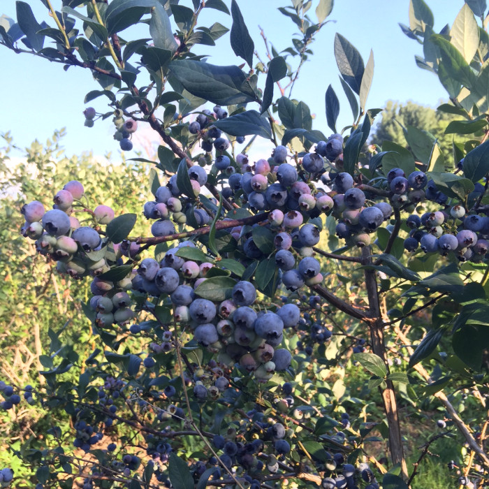 Rose Hill Farm Hudson Valley Pick Your Own Blueberries
