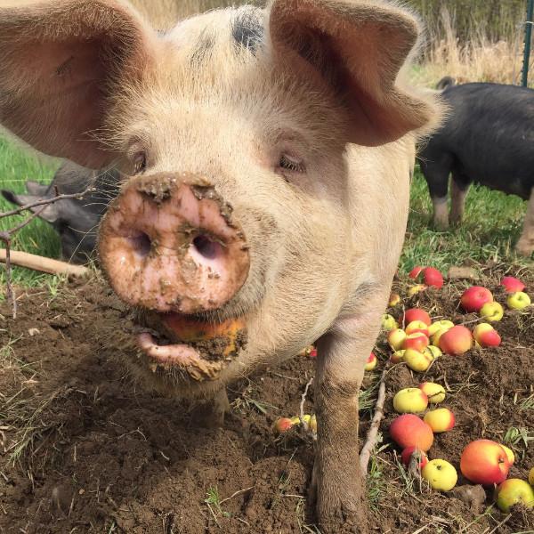 We've Got Pigs!