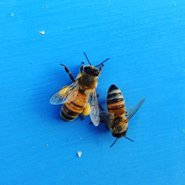 Bees returning to the hive laden with pollen