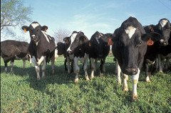 America's dairy cows, putting milk, cheese, butter and yogurt on the table. (Photo courtesy of NRCS)