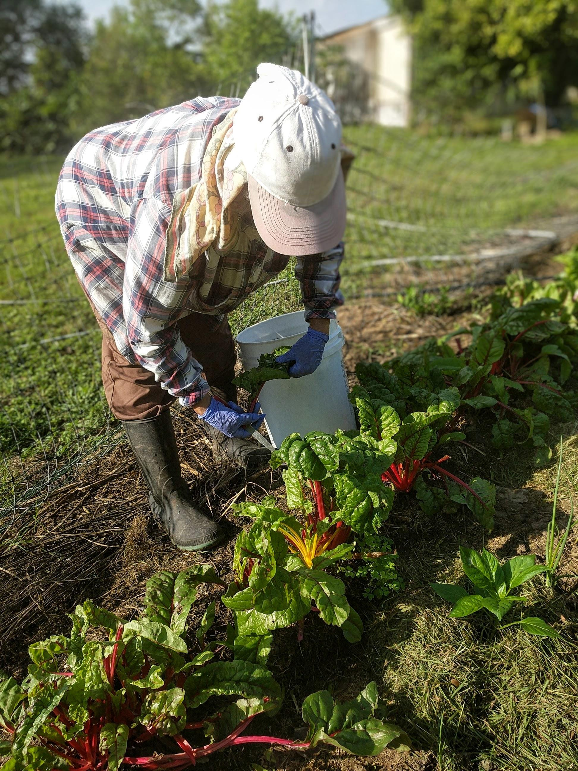 Woman working in vegetable field, wearing a white hat