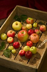 Fruit representing 21 of the 1,600 apple trees growing in Geneva, New York, that are descendants of trees collected in Central Asia with genes that can boost disease resistance and other qualities in American apples. (Photo credit: USDA-ARS)