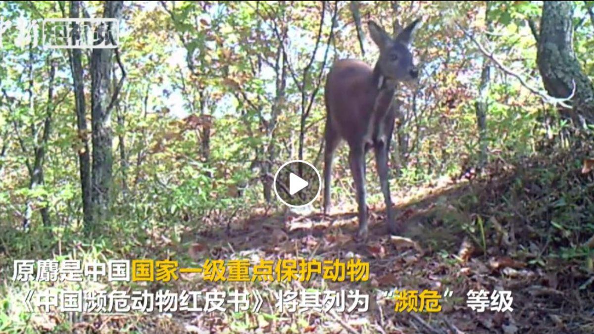 Rare Wild Siberian Musk Deer