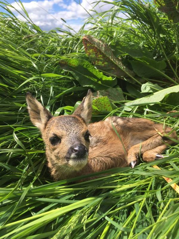 Farmers Urged to Check for Young Deer