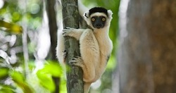 Lémurien dans le Makay ) Madagascar