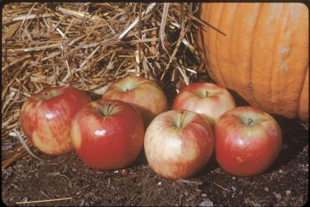 Honeycrisp Apples are a fall treat.