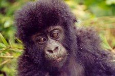Baby Mountain Gorilla in Volcanoes National Park