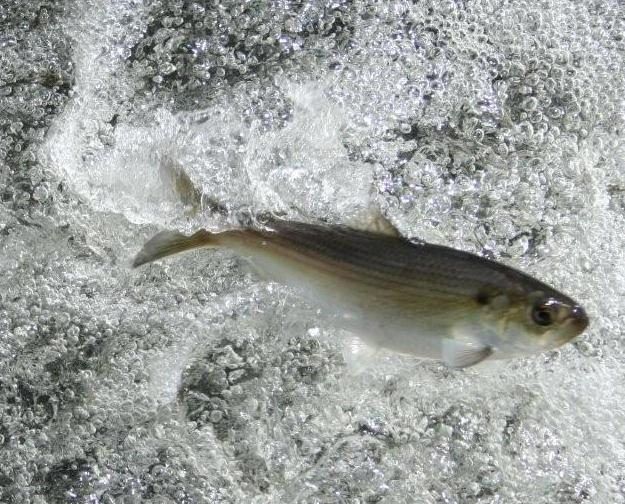 A herring jumping from the water