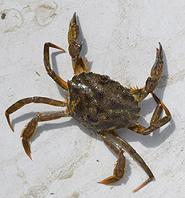 photo of a green crab