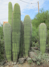 Family of Cactus