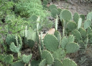Prickly Pear With Levi The Cat Journeying Through