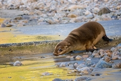 California Sea Lion Pup released by The Marine Mammal Center