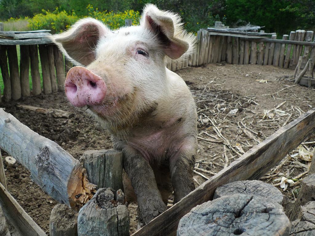 Pigs need swill
