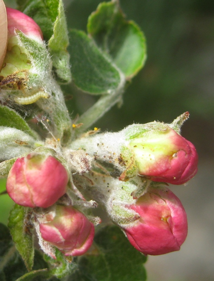 apple buds pulled apart to show winter moth inside