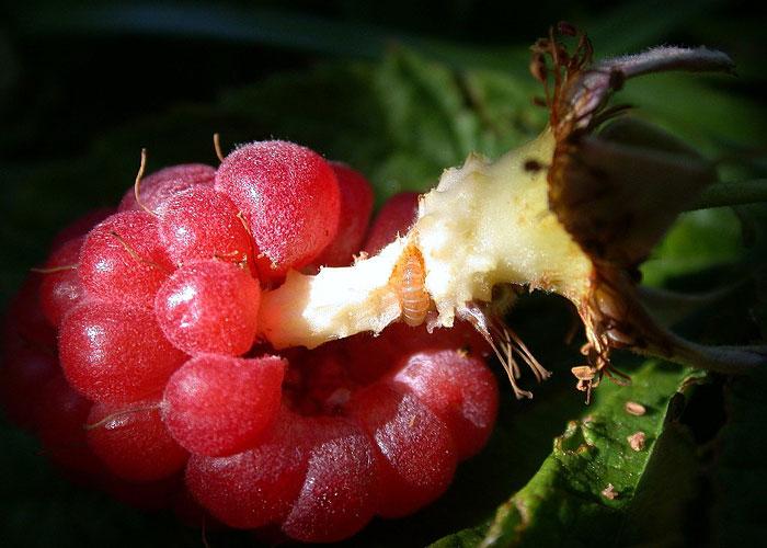 Raspberry Fruitworm Fruit Damage
