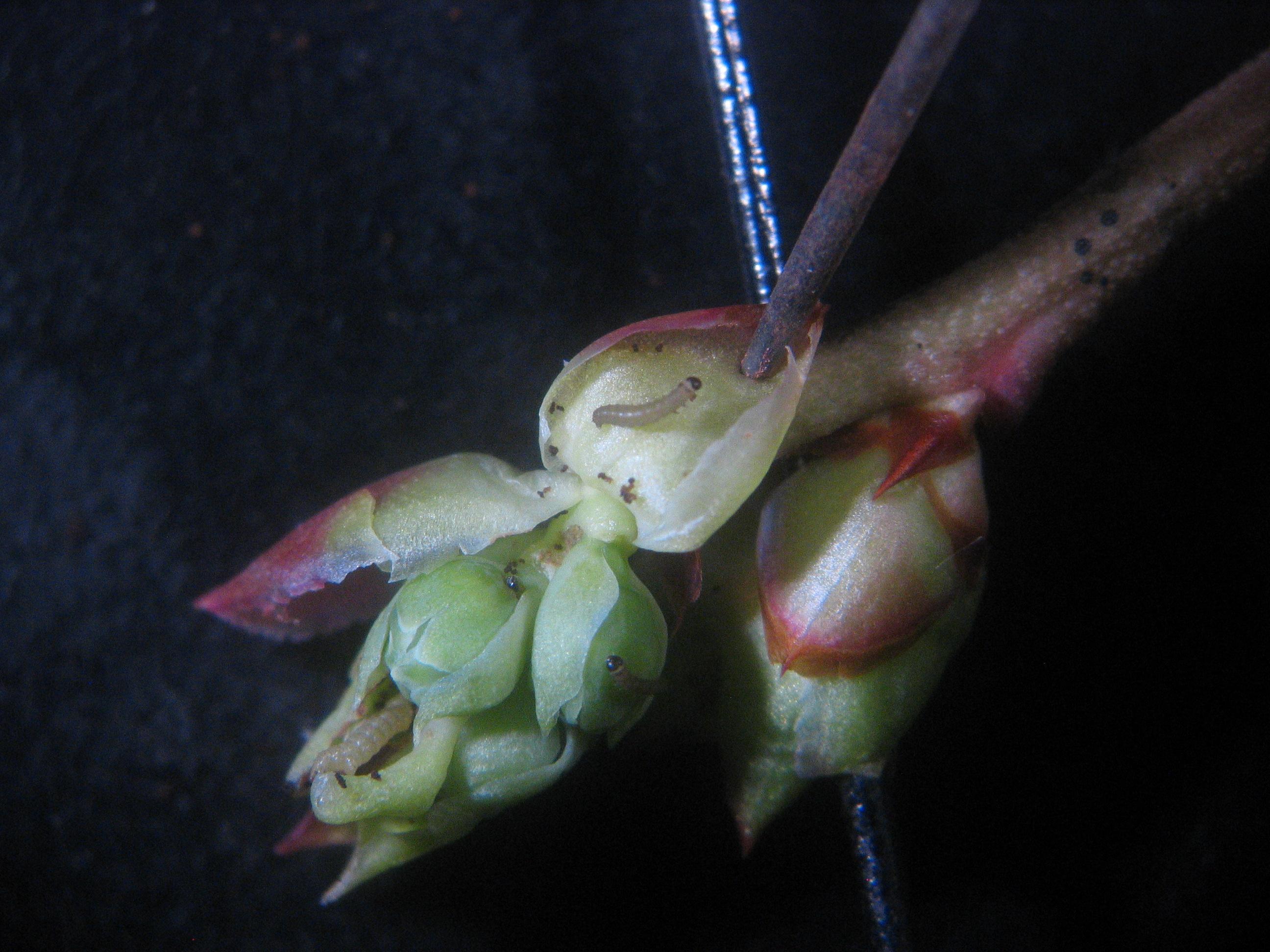 WM caterpillars inside blueberry buds (Photo: H. Faubert, URI)