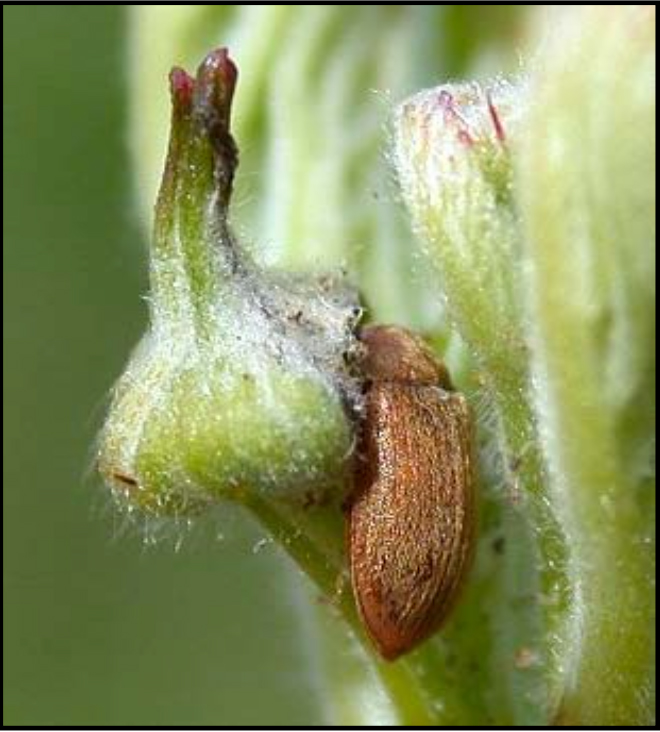 adult raspberry fruitworm on bud