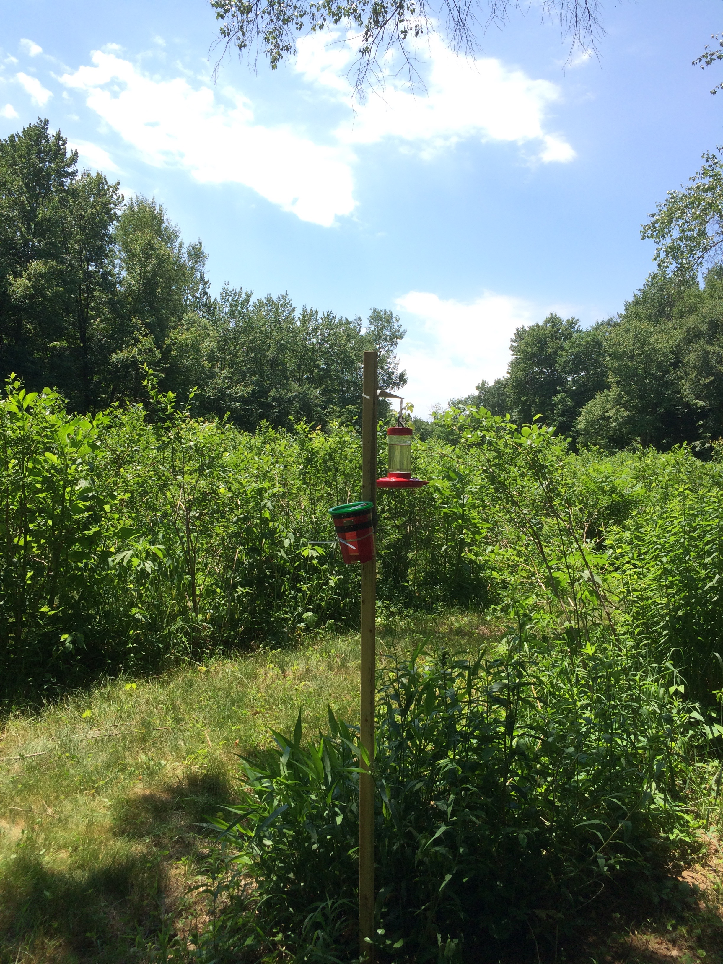 SWD trap and humming bird feeder in weedy blueberries