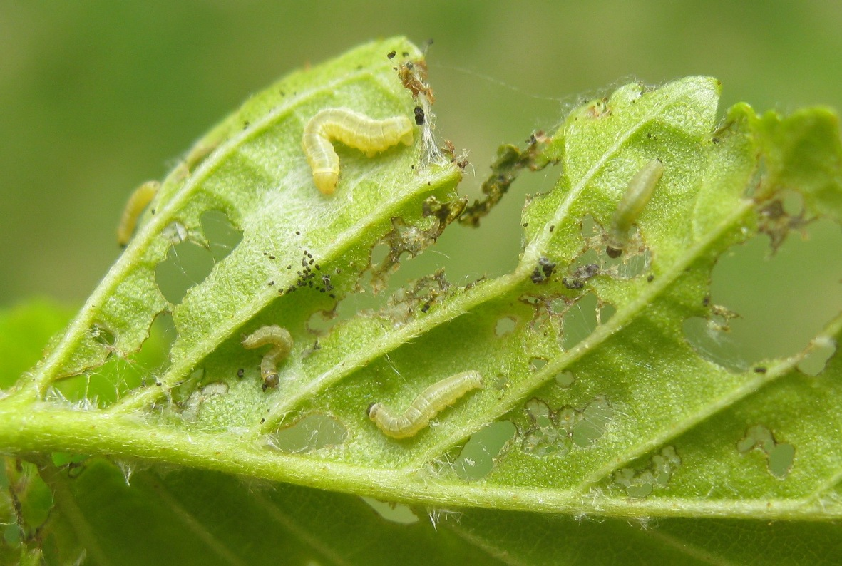 leaf with 2nd and 3rd instar caterpillars