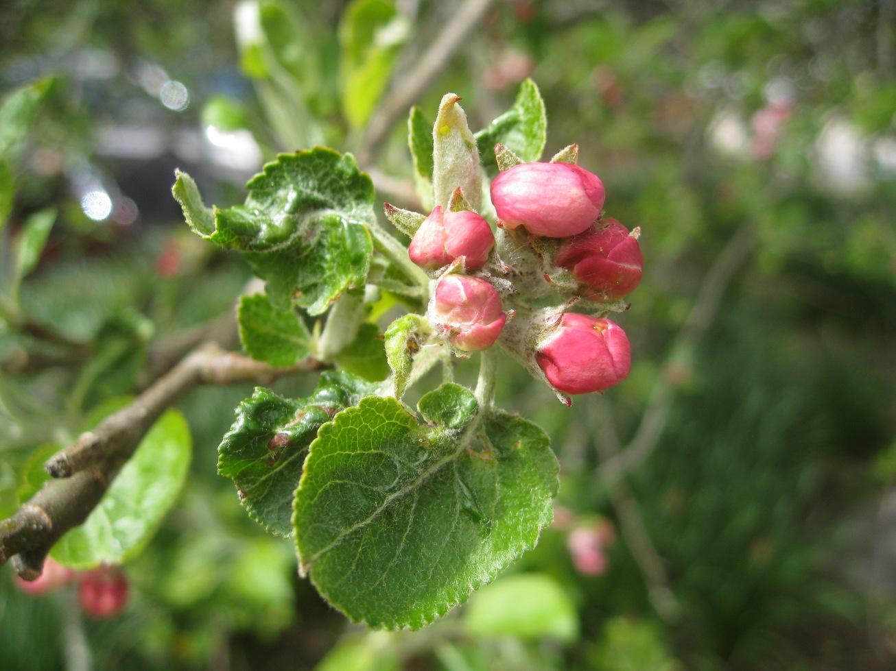 apple buds at pink, winter moth caterpillar inside