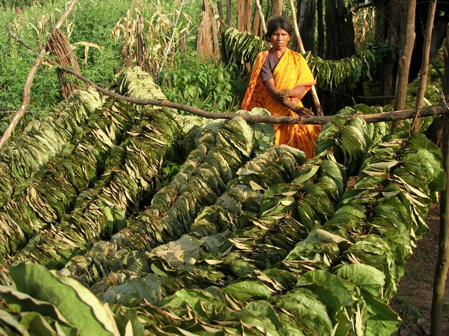 Sundrying leaves of Bauhinia vahlii, sourced from forests as NTFPs, for making leaf plates