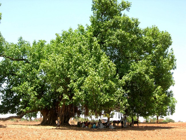 A giant Baniyan Tree (Ficus benghalensis), conserved in a village, is a venue for social events