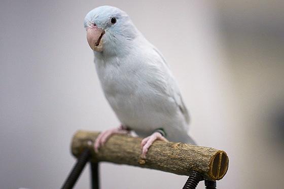 Parakeet standing on a wooden perch/ Photo: Kurt Hickman