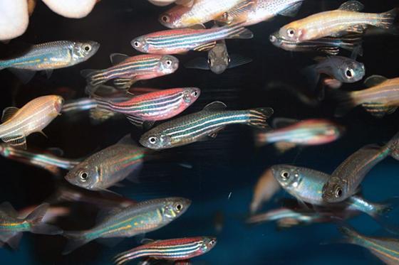 White zebrafish by Kazakov Maksim/Shutterstock