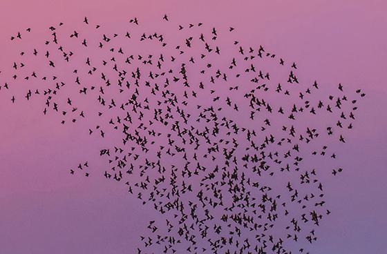 Birds flying in a flock