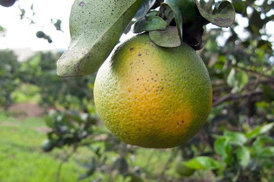 Orange with citrus greening